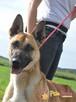 SELEN-przepiękny, wspaniały, wesoły pies, owczarek belgijski - 5