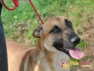 SELEN-przepiękny, wspaniały, wesoły pies, owczarek belgijski - 8