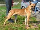 SELEN-przepiękny, wspaniały, wesoły pies, owczarek belgijski - 1
