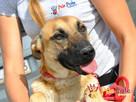 SELEN-przepiękny, wspaniały, wesoły pies, owczarek belgijski - 2