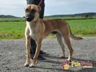 SELEN-przepiękny, wspaniały, wesoły pies, owczarek belgijski - 6