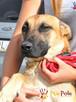 SELEN-przepiękny, wspaniały, wesoły pies, owczarek belgijski - 3