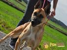 SELEN-przepiękny, wspaniały, wesoły pies, owczarek belgijski - 4