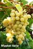 Sadzonki winorośli wysokiej jakości (Ukraina)