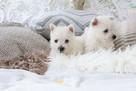 West Highland White Terrier, Zapraszamy do Rezerwacji !!! - 8
