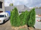 Tuje szmaragd Śląsk wysokie tanio duże 180cm 200cm 220cm - 4