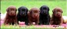 Czarne i czekoladowe szczenięta wysokiej klasy ,rodowód FCI Chynów