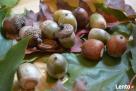 żołędzie dąb czerwony nasiona Rzezawa