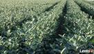 aronia sadzonki aronii 1,2,3 letnie ekologiczne Janów Lubelski
