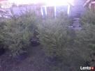 choinki świąteczne- żywe - 5