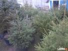 choinki świąteczne- żywe - 4
