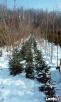 choinki świąteczne- żywe - 2