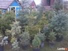 choinki świąteczne- żywe - 3