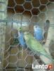 Papużki faliste - 2