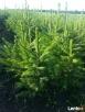 Świerk pospolity 60-70 cm - 3