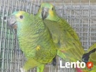 spszedam papugę amazonkę pszecena dziękuję Garwolin