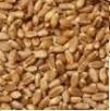 Gazowanie zboża zwalczanie strąkowca wołka omocnicy trojszyk Wysokie Mazowieckie