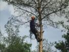 Wycinka drzew niebezpiecznych !!! - 1