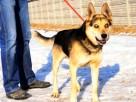 RAPUŚ-bardzo przyjazny,mądry,wesoły,energiczny pies szukaDOM - 2