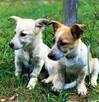 6 miesięczne, małe, urocze szczeniaki wyrzucone na śmietnik - 2
