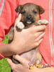 BONANZA-Piękna sunia do adopcji-szczeniątko 6 tygodni,adopcj - 5
