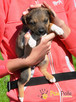 BONANZA-Piękna sunia do adopcji-szczeniątko 6 tygodni,adopcj - 3