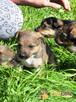 BONANZA-Piękna sunia do adopcji-szczeniątko 6 tygodni,adopcj - 2