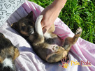BONANZA-Piękna sunia do adopcji-szczeniątko 6 tygodni,adopcj - 1