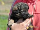 DUZERS-kochany,wspaniały, malutki kudłaty psiak-szukamy domu - 2