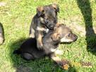 DUZERS-kochany,wspaniały, malutki kudłaty psiak-szukamy domu - 5
