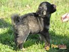 DUZERS-kochany,wspaniały, malutki kudłaty psiak-szukamy domu - 8