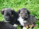 DUZERS-kochany,wspaniały, malutki kudłaty psiak-szukamy domu - 6