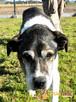 FREDIE-bardzo miły psi staruszek-kochany, grzeczny, przyjazn - 1