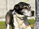 FREDIE-bardzo miły psi staruszek-kochany, grzeczny, przyjazn - 8