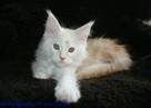 Cudowne kociaczki maine coon