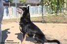 Sawana - duża owczarkowata sunia - 2
