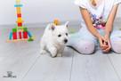West Highland White Terrier, Zapraszamy do Rezerwacji !!! - 5