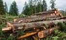 Wycinka Skup lasu na Pniu Sosna Świerk Brzoza Olcha Całe Pod - 2