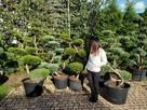 Bonsai , bonsai do ogrodu , drzewka formowane Katowice - 2