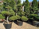 Bonsai , bonsai do ogrodu , drzewka formowane Katowice - 1