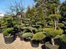 Bonsai , bonsai do ogrodu , drzewka formowane Katowice - 6
