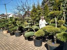 Bonsai , bonsai do ogrodu , drzewka formowane Katowice - 5