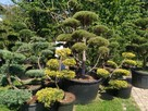 Bonsai , bonsai do ogrodu , drzewka formowane Katowice - 10