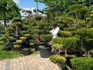 Bonsai , bonsai do ogrodu , drzewka formowane Katowice - 8