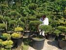 Bonsai , bonsai do ogrodu , drzewka formowane Katowice - 7