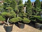 Bonsai do ogrodu , drzewka formowane Bielsko Biała - śląskie