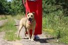 Stateczny starszy psiak szuka domu - 4