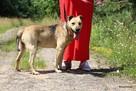 Stateczny starszy psiak szuka domu - 3
