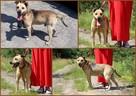 Stateczny starszy psiak szuka domu - 6