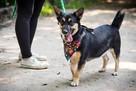Segal- 3 letni niewielki pies do adopcji